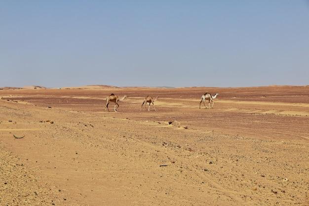Le chameau dans le désert du sahara, afrique