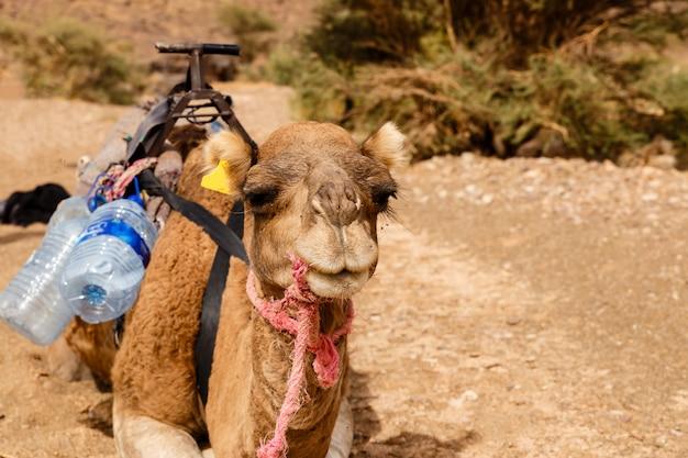 Chameau dans le désert du sahara, maroc