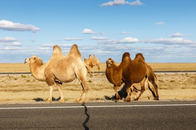 Chameau dans le désert de gobi, mongolie intérieure