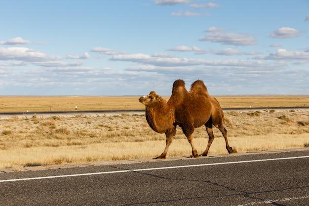 Chameau dans le désert de gobi