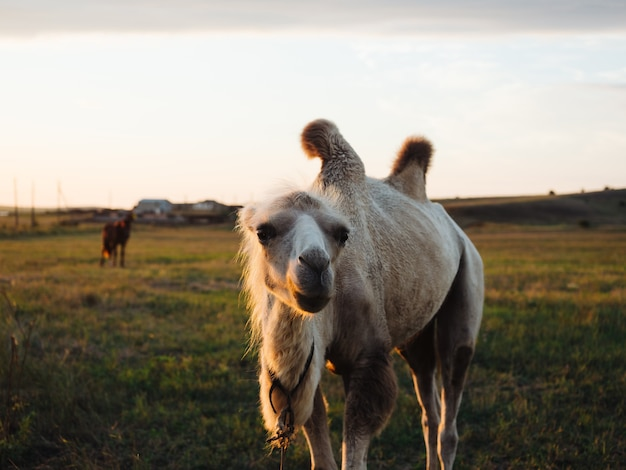 Le chameau dans le domaine mange de l'herbe animaux de la ferme paysage nature