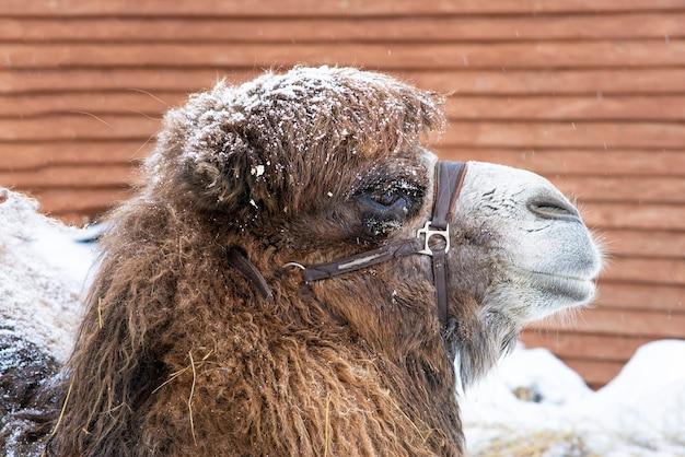Chameau dans la neige dans le harnais. la photo en gros plan du visage de chameau