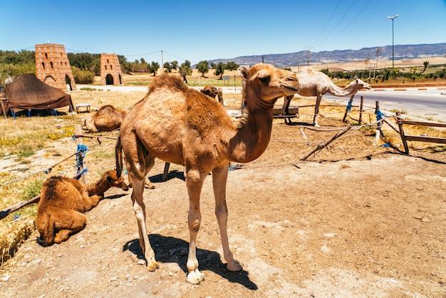 Chameau et dromadaire à mequinenza, près de fès, maroc.
