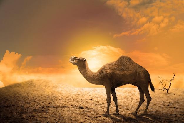 Chameau sur les dunes de sable au coucher du soleil