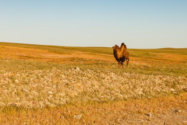 Un chameau marche dans le désert de gobi