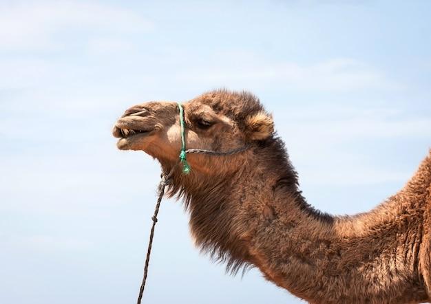 Chameau marocain