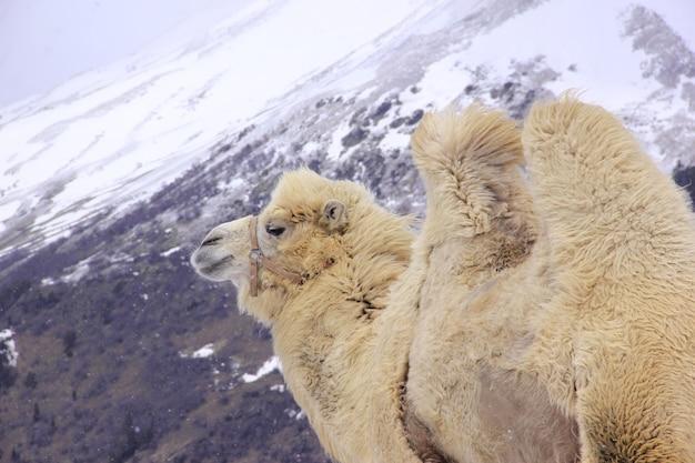 Chameau moelleux dans le contexte des hautes montagnes enneigées du caucase