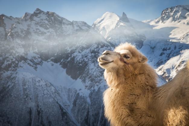Chameau à la montagne