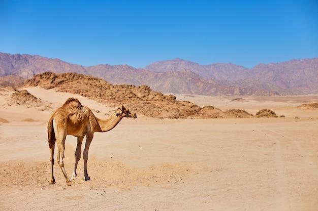 Un chameau reste sur une terre déserte avec un ciel bleu à l'arrière-plan.