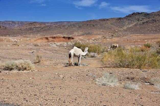 Le chameau sur la route dans les montagnes d'arabie saoudite