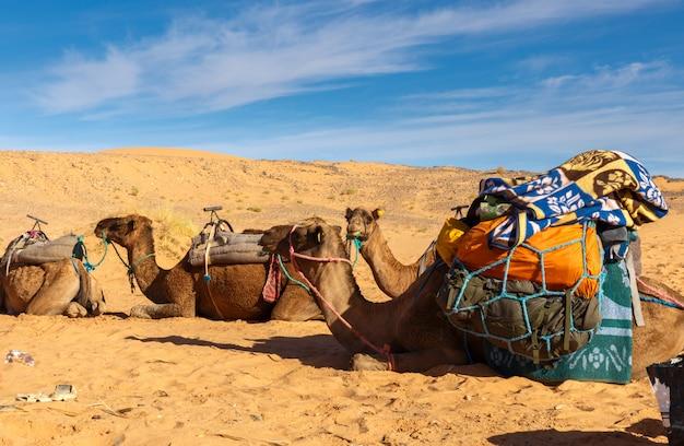 Chameaux avec une charge dans le désert