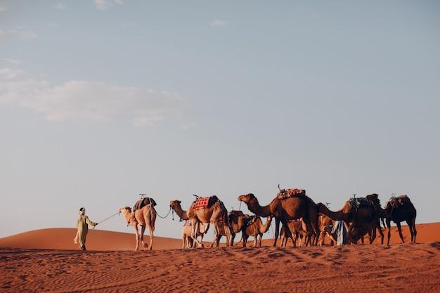 Chameaux et chef d'orchestre dans le désert du sahara. du sable et du soleil.