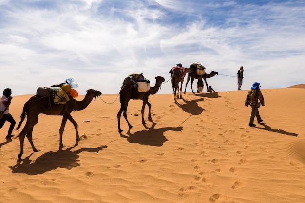 Chameaux dans le désert du sahara