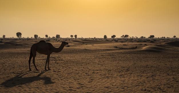 Chameaux dans le désert