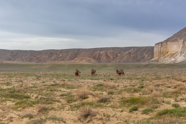 Chameaux dans le plateau d'ustyurt. district de boszhir. le fond d'un océan sec tethys