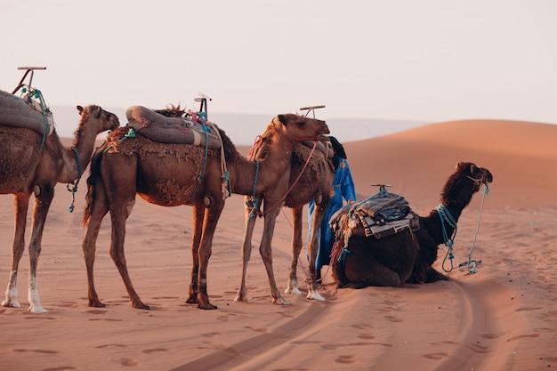 Chameaux et guide dans le désert du sahara. du sable et du soleil.