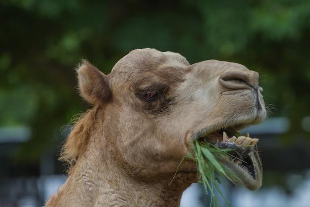 Chameaux mangent du foin dans une ferme de chameaux thaïlande