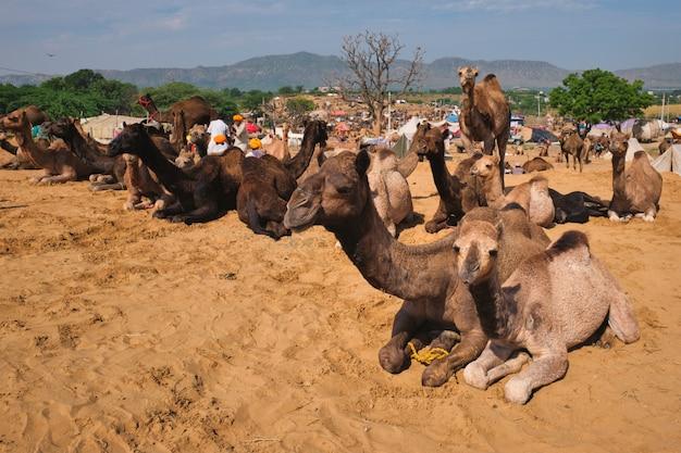 Chameaux à pushkar mela pushkar camel fair, inde