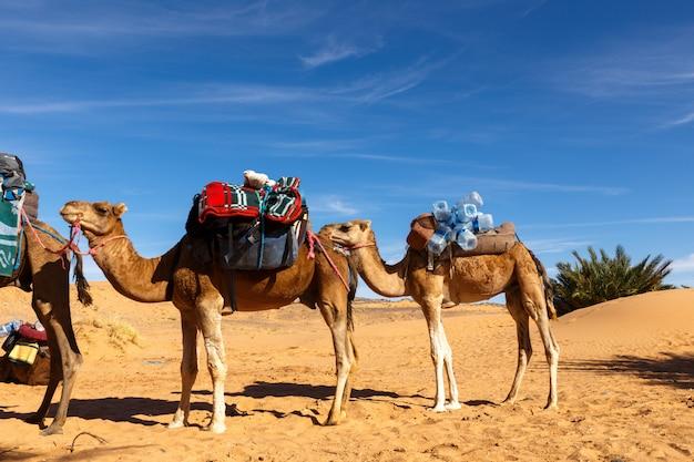 Les chameaux sont debout avec une charge, le désert du sahara