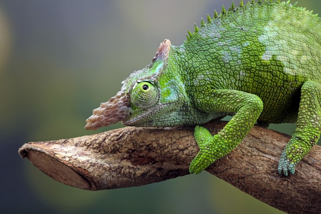 Chameleon fischer gros plan sur gros plan animal arbre