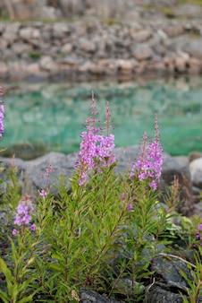 Chamerion en fleurs sur le fond de l'eau turquoise, norvège