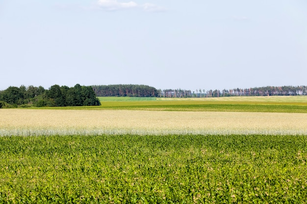 Un champ agricole où le blé est cultivé
