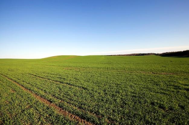 Champ agricole de céréales agricoles sur lequel pousse l'herbe verte non mûre