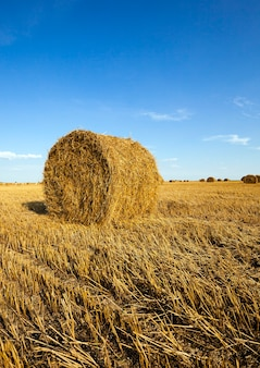 Champ agricole - un champ agricole sur lequel poussent aussi le blé de récolte