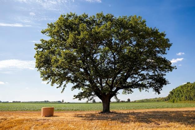 Un champ agricole avec un chêne et des meules de foin après la récolte de blé