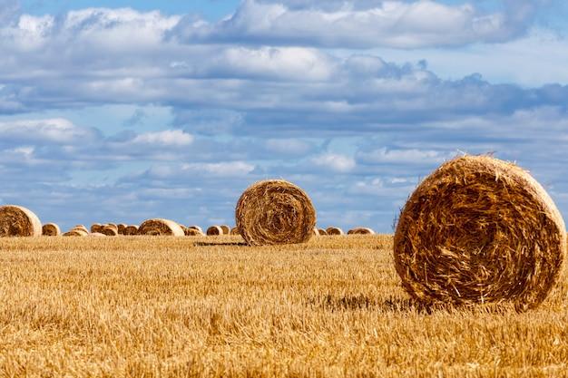Un champ agricole dans lequel il y avait des tas de paille, des tas de paille de blé ont été laissés après la récolte du blé