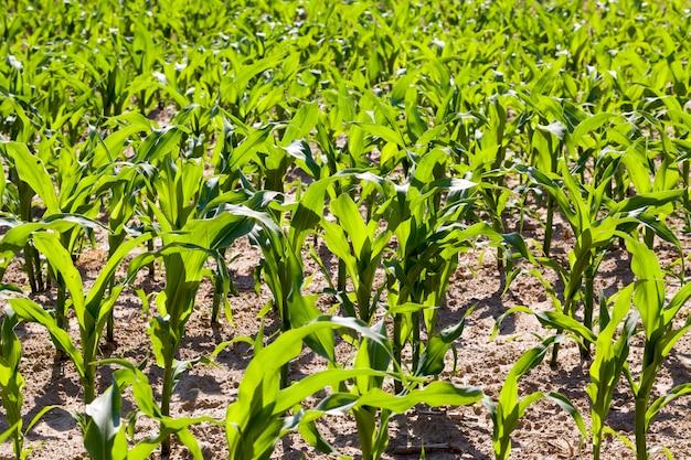 Champ agricole avec du maïs vert