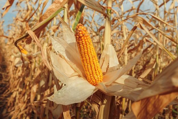 Champ agricole avec du maïs
