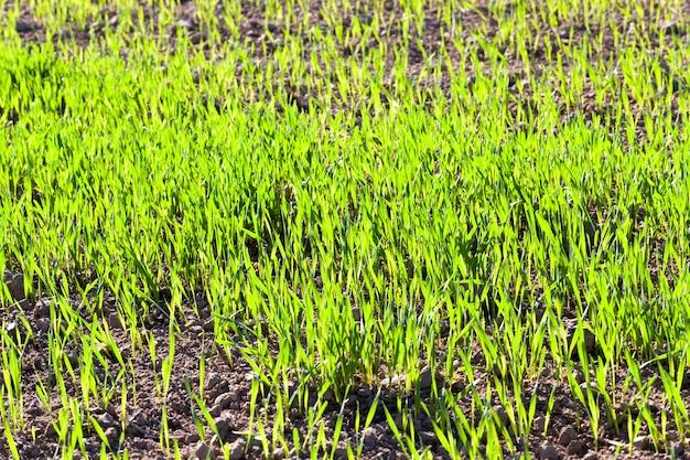 Champ agricole avec de l'herbe verte à partir de laquelle pousse du blé, du seigle ou de l'orge, printemps
