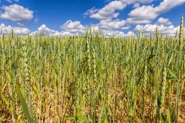Un champ agricole sur lequel les cultures de céréales