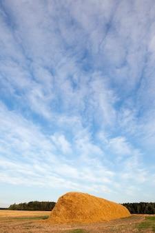 Champ agricole sur lequel ont été laissés des meules de paille après la récolte de blé