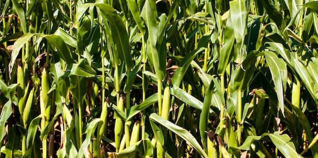 Un champ agricole sur lequel poussent du maïs