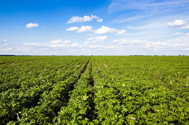 Un champ agricole sur lequel poussent des pommes de terre