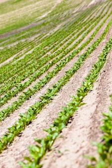 Le champ agricole sur lequel poussent les pousses de betterave.