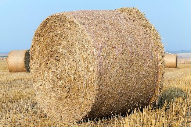 Un champ agricole sur lequel sont disposées des meules de paille après la récolte des céréales, du blé