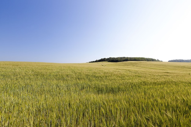 Champ agricole avec maïs planté