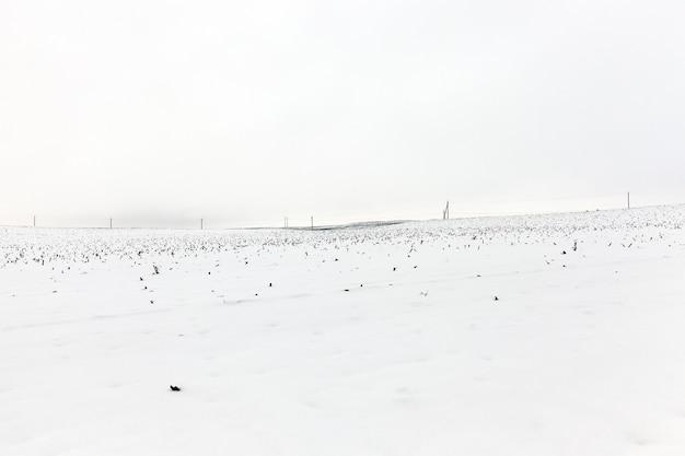 Champ agricole photographié en hiver, recouvert de neige sous les restes visibles des plants de maïs après la récolte, ciel bleu en arrière-plan