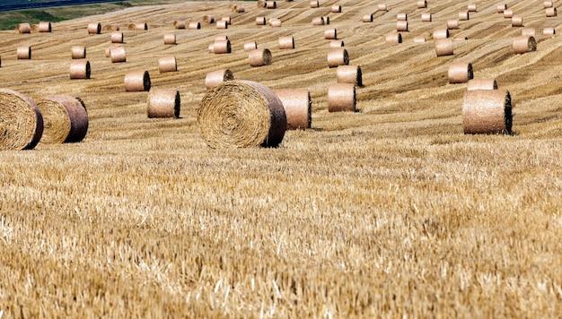 Champ agricole avec des piles de paille de seigle
