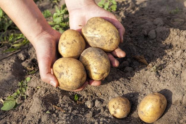 Un champ agricole où poussaient les pommes de terre