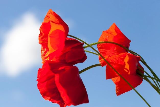 Un champ agricole où poussent des variétés de plantes parmi lesquelles poussent des coquelicots rouges
