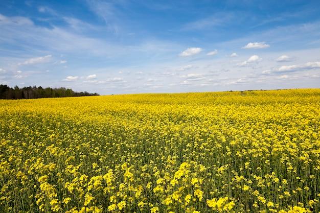 Un champ agricole qui fleurit du canola jaune.