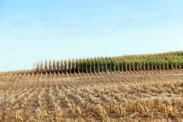 Champ agricole, qui a recueilli la récolte de maïs mature