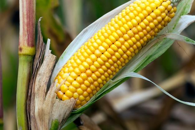 Champ agricole de récolte de maïs mature