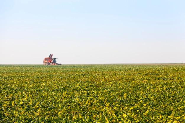 Champ agricole semé de betteraves un grand nombre de plantes pour la récolte de la betterave à sucre pour la production de sucre, la récolte de la betterave à sucre à l'automne