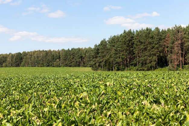 Un champ agricole vert avec des betteraves à sucre pas prêtes pour la récolte