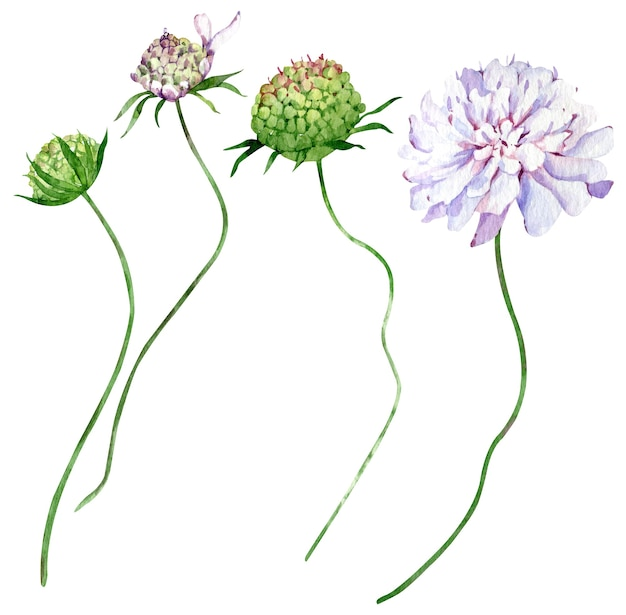 Champ aquarelle fleurs scabieuses isolés sur fond blanc